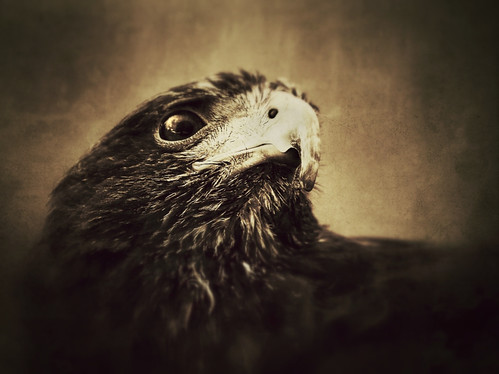 Harris Hawk 2 | by CelticOrigins Photography