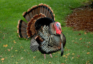 turkey oliver2 | by Contra Costa Times