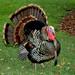 turkey oliver2