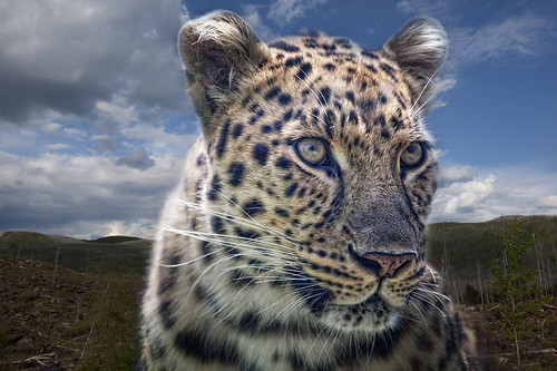 "It's a Dream "" Leopard "" 