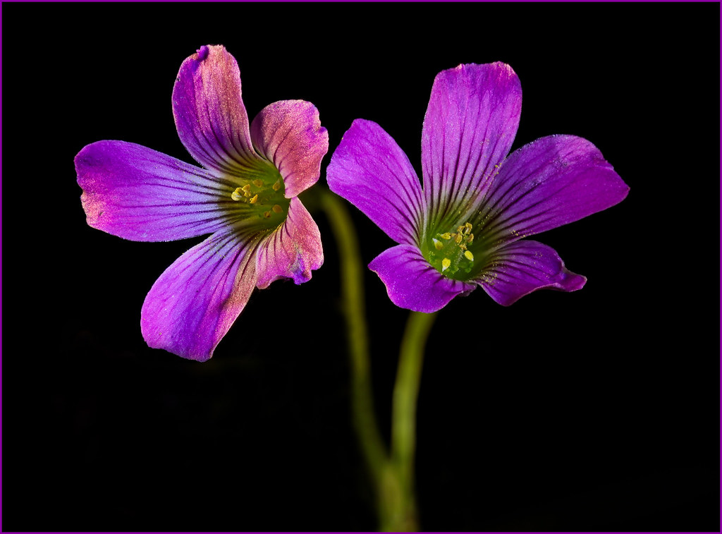 Differentially Illuminated Purple Clover Flowers Czp Flickr