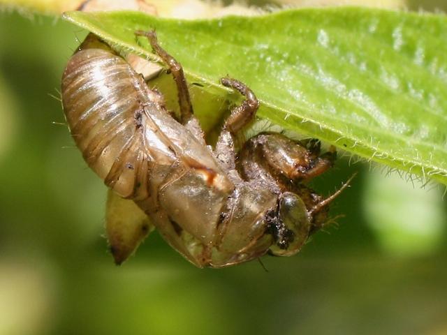 Cicada shell 4317 | I found this hanging under a pentas ...