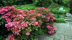 CHARTWELL, House of Sir Winston Churchill, azalea