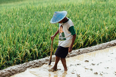 Rice Farmer in Caping, Java Indonesia
