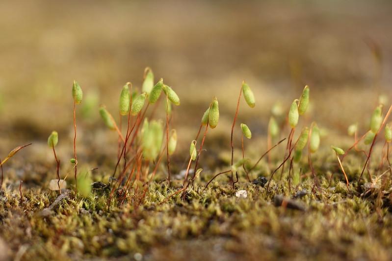 Фунария влагомерная / Funaria hygrometrica