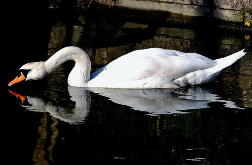 Swan on The Stroudwater Canal | by KPAR Media UK