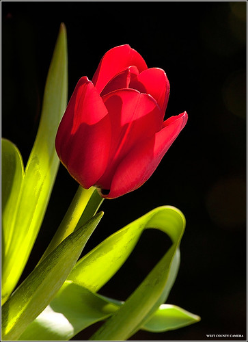 Yesterdays Tulip | by West County Camera