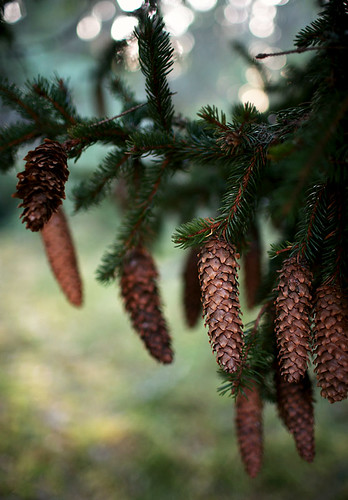 Spruce cones | by Helena Normark