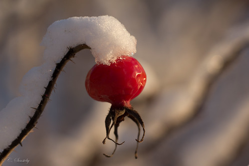 Rosehip in winter | by CecilieSonstebyPhotography