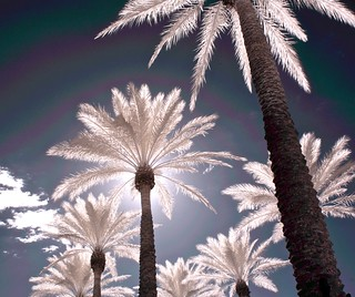 Infrared Palms #2 | by jcbwalsh