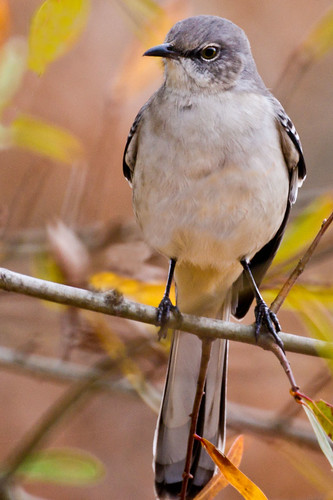 Mockingbird | by The Suss-Man (Mike)
