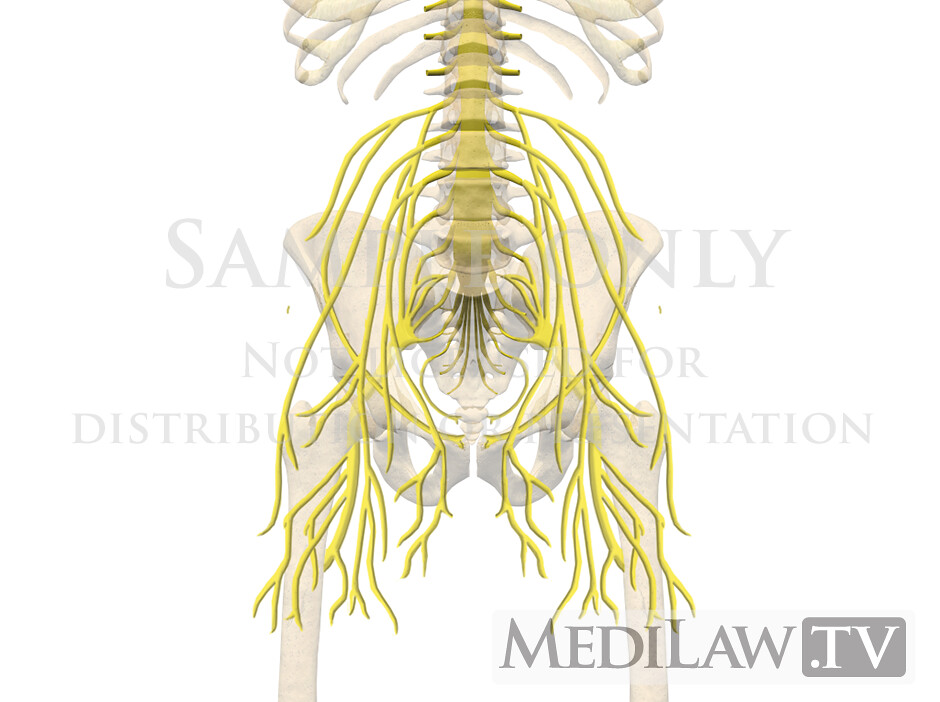 personal injury 3D animations Lumbar-Nervous-System-Anatom… | Flickr
