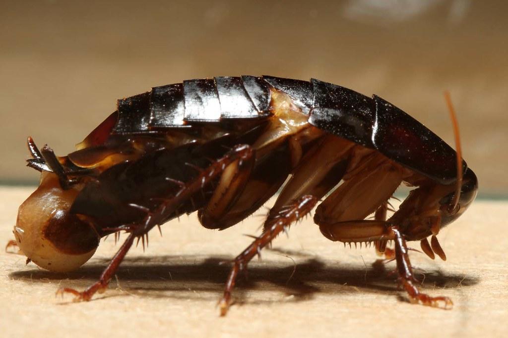 Cockroach Schabe Kakerlake Unknown Species Feel Free Flickr