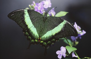 Emerald swallowtail | by Thank you for 1.5 Million views