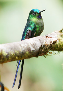 Violet-tailed Sylph by Benjamin Skolnik | by abcflickr2010
