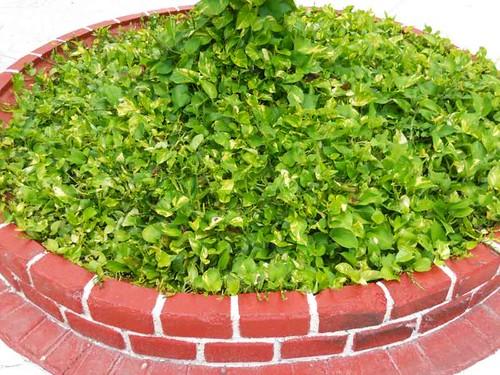Plantas alternativas al cesped planta de poto tapizando - Como plantar cesped en el jardin ...