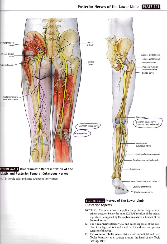 Common Fibular and Tibial Nerves - Posterior Thigh   Flickr