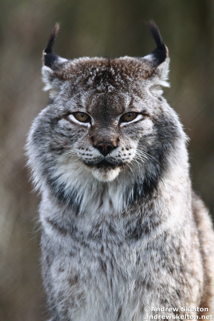 Pet Siberian lynx attacks woman in Atlanta | Daily Mail Online