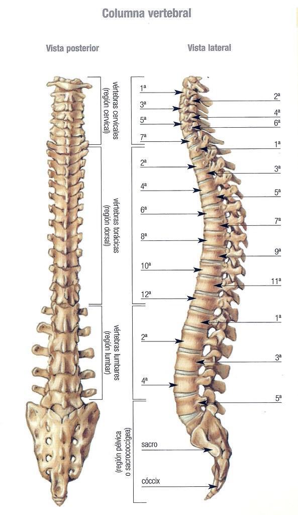 Huesos. Columna vertebral | Juan Clemente | Flickr