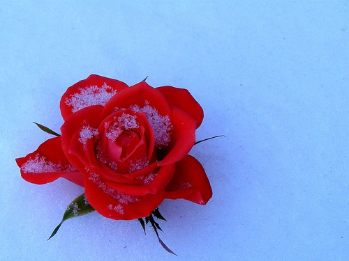 .......  AND A BLOOD RED ROSE LAY DOWN IN THE BLUE REFLECTED FROZEN VIRGIN SNOW   -   Dedicated to all homeless people this winter | by nilliske