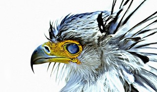 secretary bird  (detail) | by JKG II