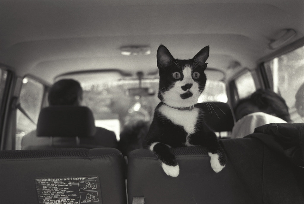 Black and white cat peers over the back seat of a car with a surprised expression on its face.
