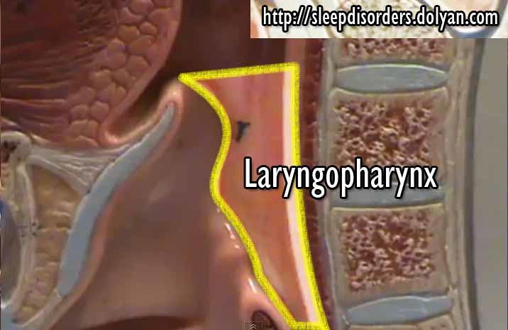 Laryngopharynx Laryngopharynx This Media Is Part Of The N Flickr