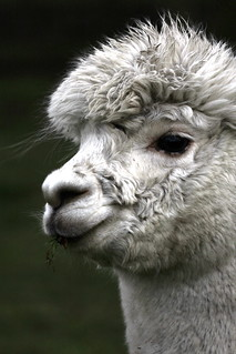 ALPACA | by BIG KEV6 ## THE MACKEM ##