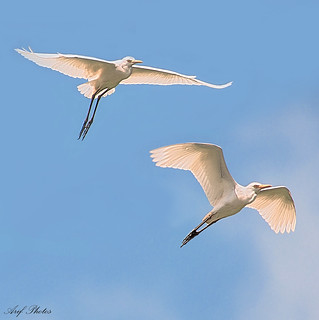 Egret Pair | by ariflickrs