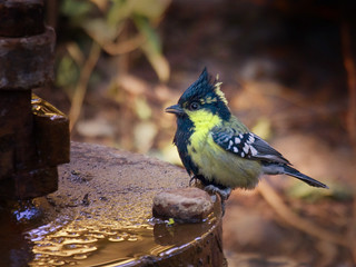 Indian Black-lored Tit | by Tarique Sani
