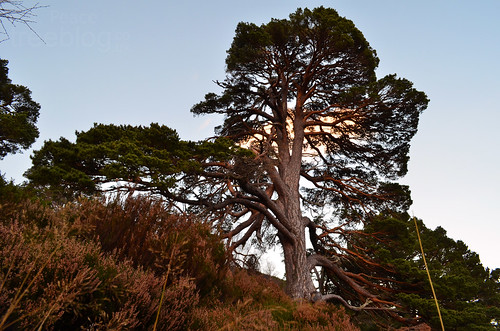 201111-super-scots-pine-2 | by treeblog