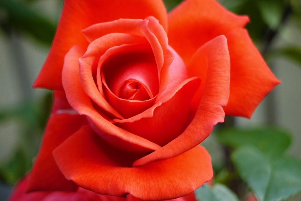 ... Rose, Superstar | by David JL
