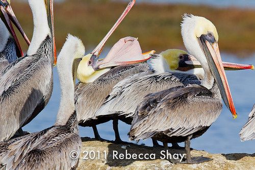 Brown Pelicans | by rshay001