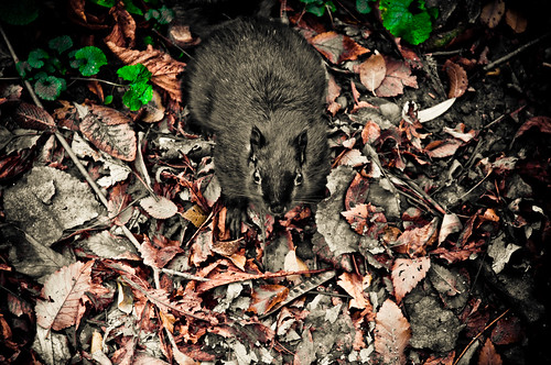 Black Squirrel Inside Riverdale Farm | by sleystl