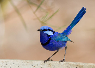 Splendid Fairy Wren ~ Explored ~ | by Michaela Newman