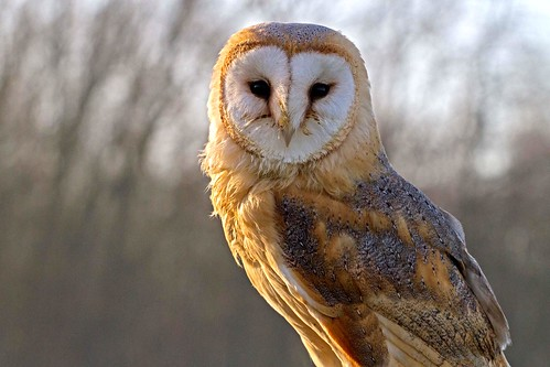 Barn owl | by Roland B43