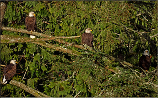 Bald Eagles | by Catsbow