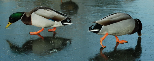 DSC_9135-2-ducks-on-ice_crop | by wmconnolley