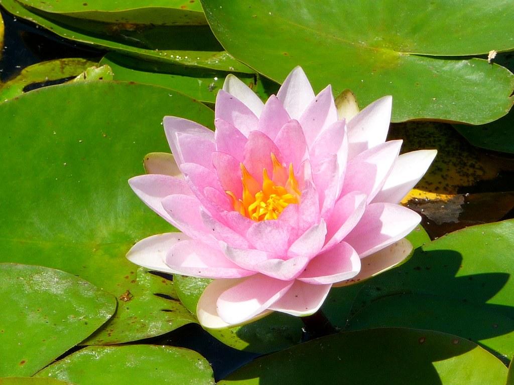 Flower on lily pad john f braun flickr flower on lily pad by johnfbraun izmirmasajfo