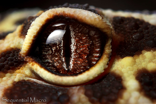 Eublepharis Macularius Eye Of Sauron In Response To The Flickr