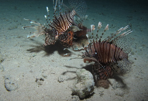 Common Lionfish,  Pterois miles hunting at night at Sataya Reef (night), Red Sea, Egypt #SCUBA #UNDERWATER #PICTURES | by Derek Keats