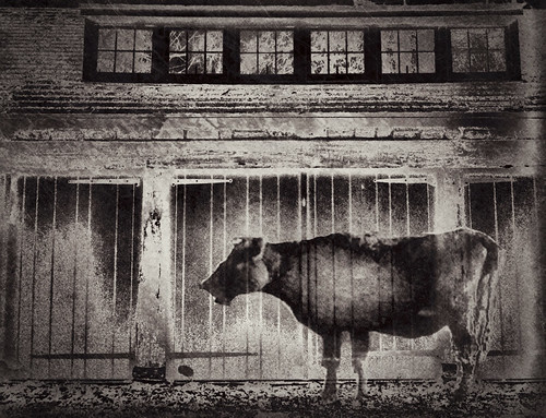 Cow Locked Out | by Jack Mallon