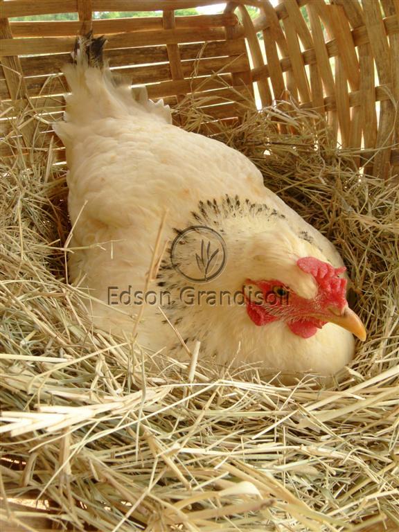 galinhas chocando galinhas chocando araçoiaba da serra