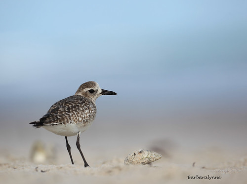 Black Bellied Plover | by naturethroughmyeyes.com