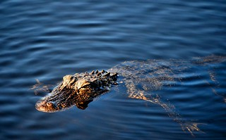 Alligator Closeup | by jeffb477