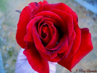 Rosa roja para mis amigas de flickr... | by JOSE RUIZ QUESADA