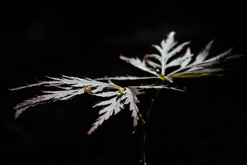 Leaves in the light | by picpockett