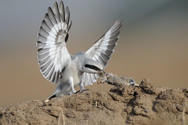 Great Grey Shrike (Lanius excubitor) Near a bush with preys on ...