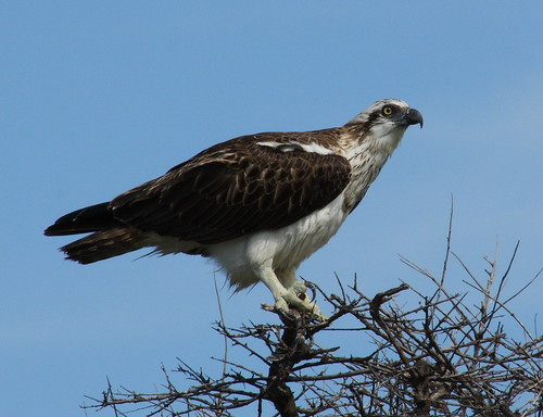 Pandionidae>Pandion haliaetus cristatus Osprey IMG6705 | by Bill & Mark Bell