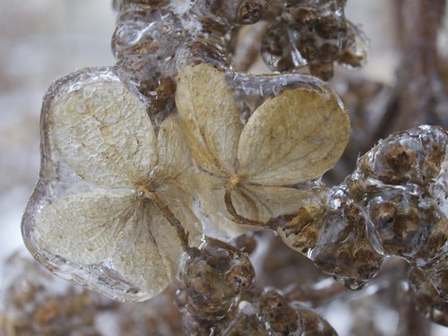 ice covered flower petals and seeds | by photopeter159